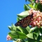 monarch butterfly on strawberry tree