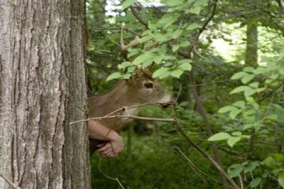 Bambi is sighted in the woods.