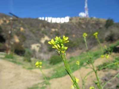 Wildflower beneath the Hollywood sign
