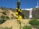 Hollywood Wildflower