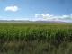 Corn fields!