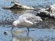 Seagull eating Alkali Flies
