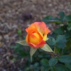 Orange Rose hopes of peace