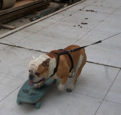 DOG on four, getting ready to hop on four wheels.