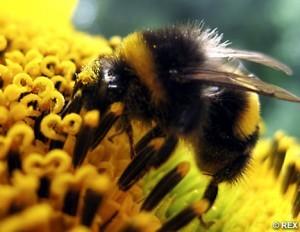 bumblebeerex_468x362-300x232.jpg