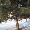 It's a pine tree