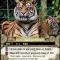 SF0 Zoo Tiger.jpg