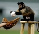 Monkeys love baseball!