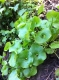 Miner's lettuce.  This is good to eat.