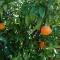 Tangerine Dream (Citrus reticulata)