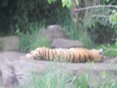 This is the tiger that didn't jump at me.